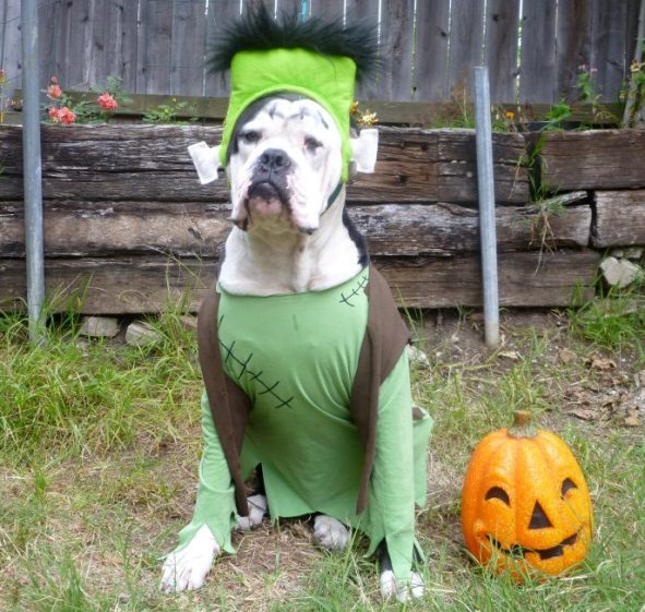 Boxer Dog Halloween Costumes & Images of Boxer Dog Halloween Costumes - Best Fashion Trends and Models
